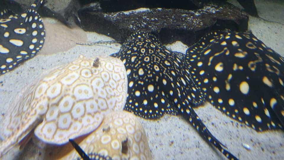 218: Süßwasserrochen im Aquarium - Haltung und Pflege von Potamotrygon (Thorben Hohmann) 6