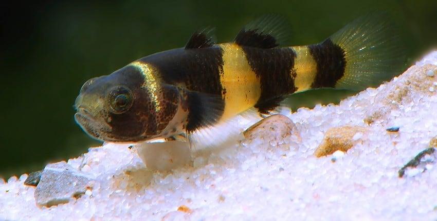 Brachygobius doriae