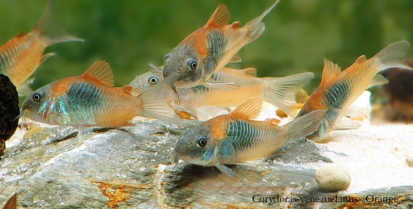 "Corydoras venezuelanus ""Orange"" und C. sp. ""Venezuela Black"""