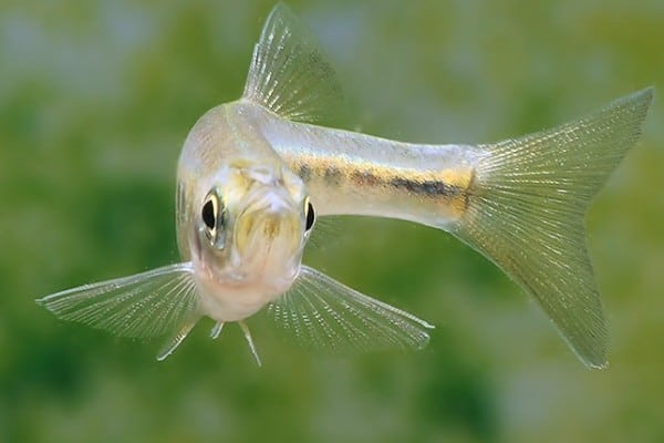 Inlecypris auropurpureus