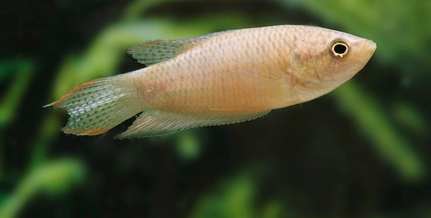 Macropodus spechti