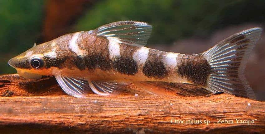 Otocinclus Yarapa Zebra-Otocinclus
