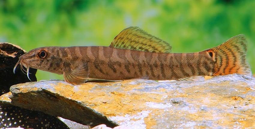 Paracanthocobitis rubidipinnis