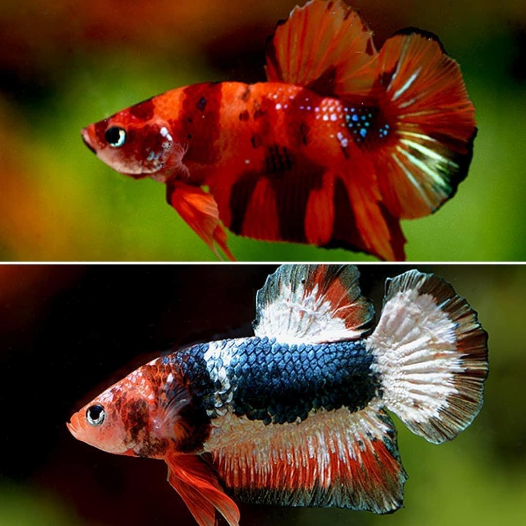 ausgewählte Kampffische - Plakat Red Marble und Plakat Candy