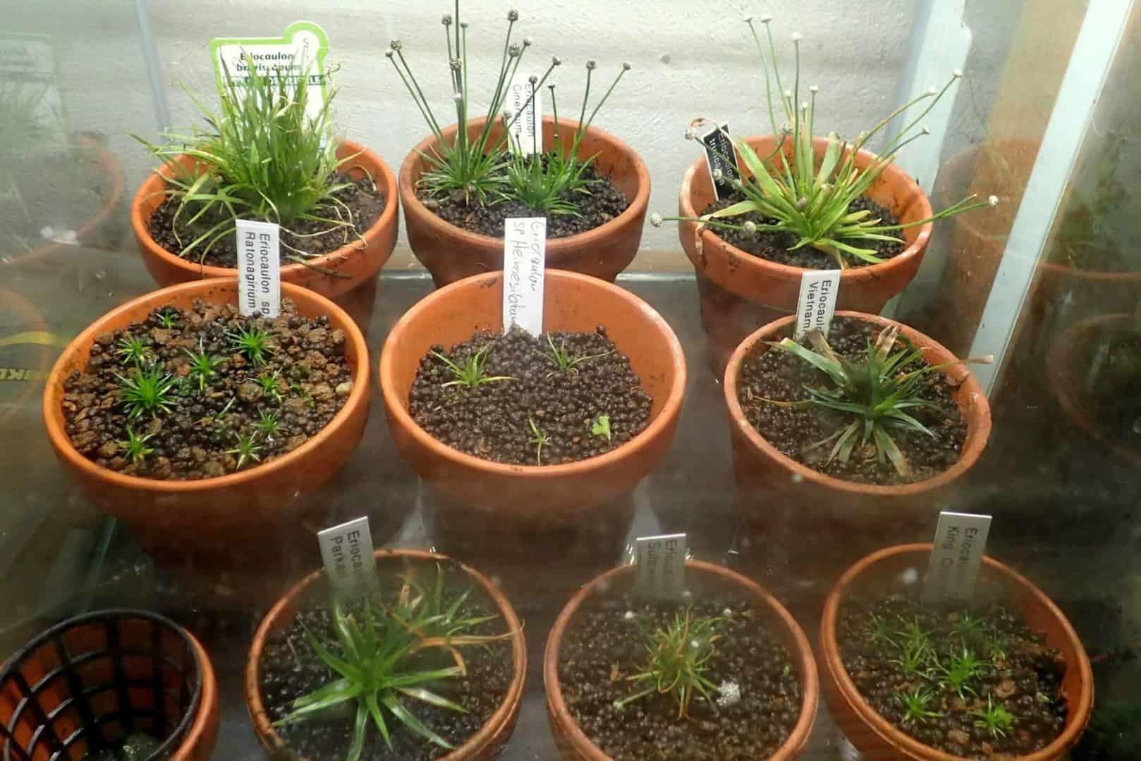 Podcast Episode #136: Eriocaulon - Eine sehr spezielle Pflanzengattung (Niklas Entenmann) 6