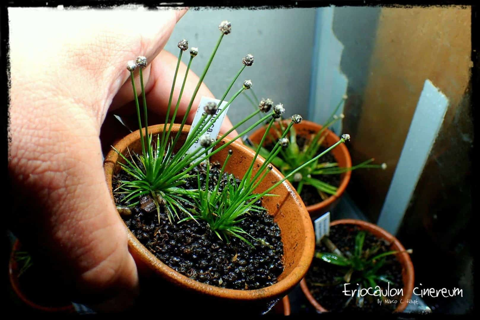 Podcast Episode #136: Eriocaulon - Eine sehr spezielle Pflanzengattung (Niklas Entenmann) 10