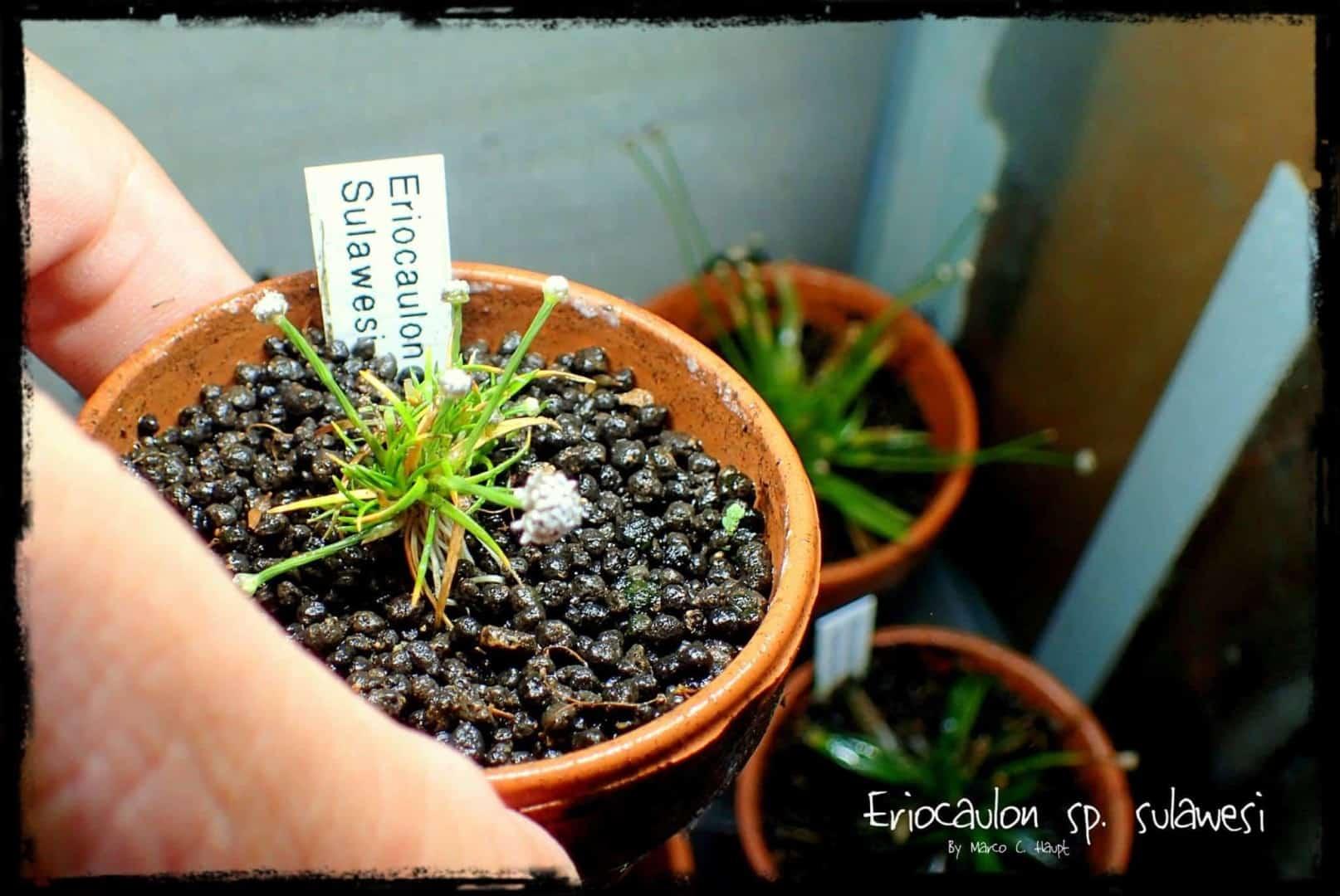 Podcast Episode #136: Eriocaulon - Eine sehr spezielle Pflanzengattung (Niklas Entenmann) 12