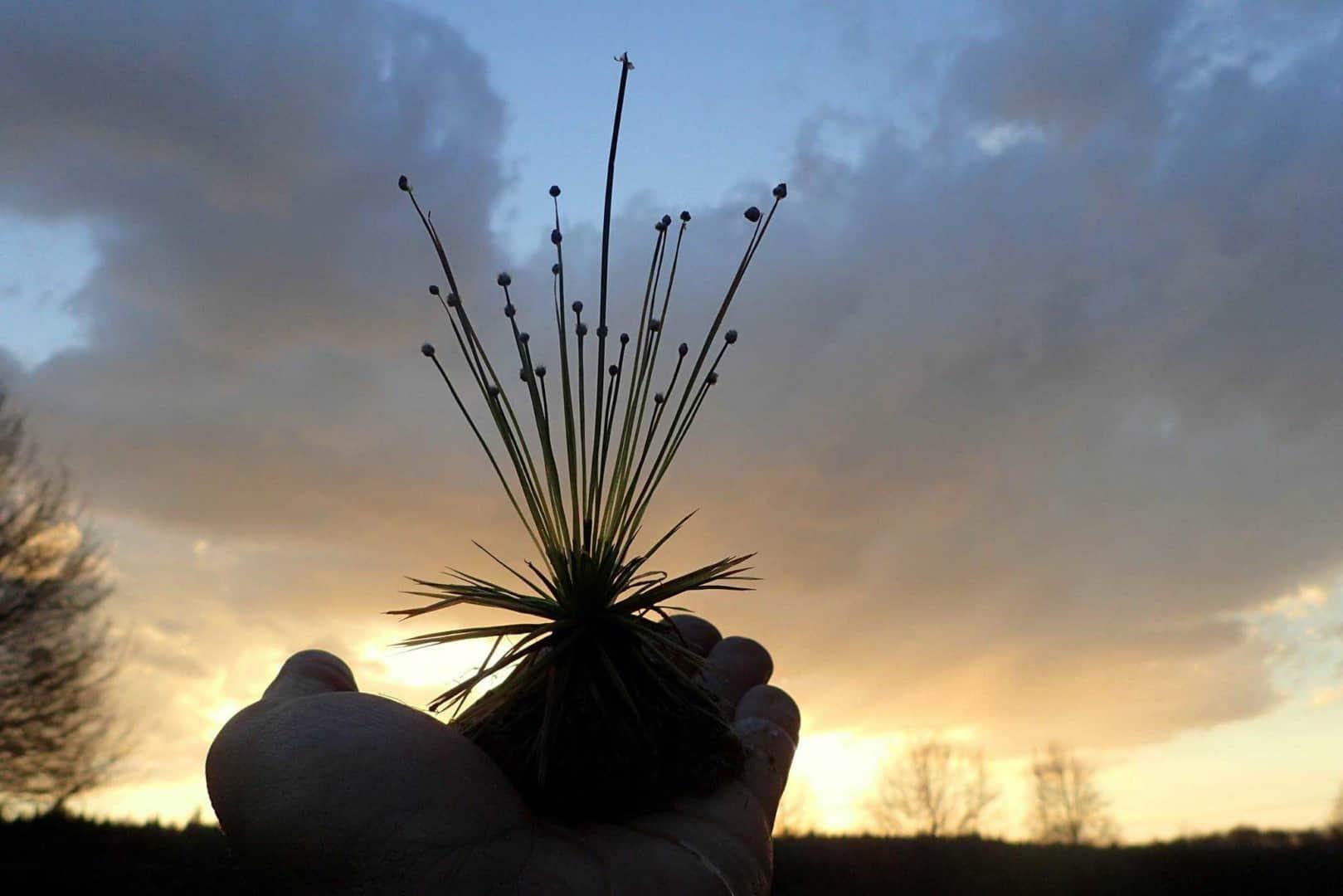 Podcast Episode #136: Eriocaulon - Eine sehr spezielle Pflanzengattung (Niklas Entenmann) 24