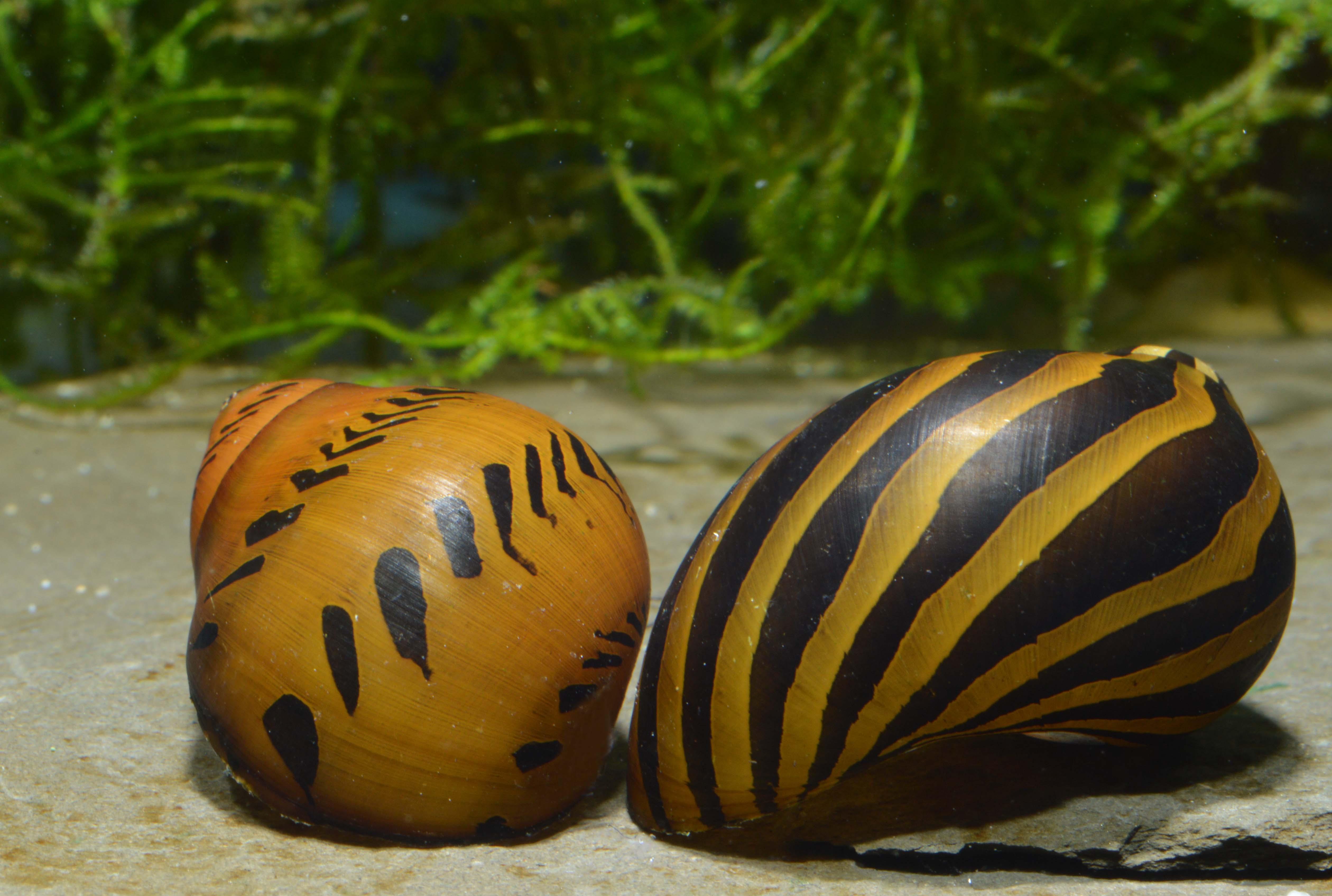 220: Schnecken fliehen aus dem Aquarium - Wieso, weshalb, warum? (Alexandra Behrendt) 4