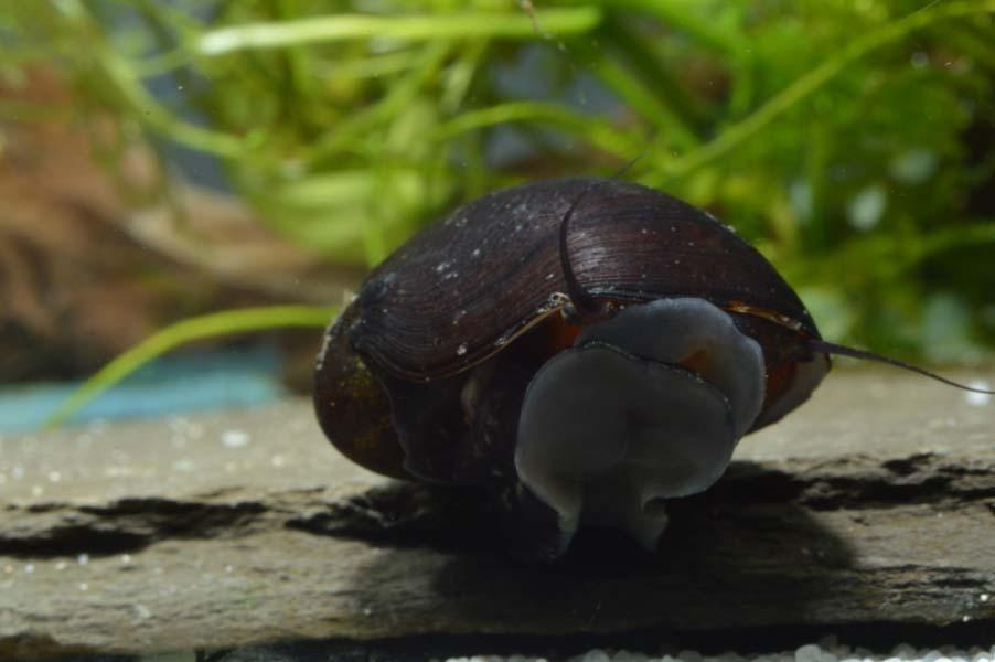 220: Schnecken fliehen aus dem Aquarium - Wieso, weshalb, warum? (Alexandra Behrendt) 5