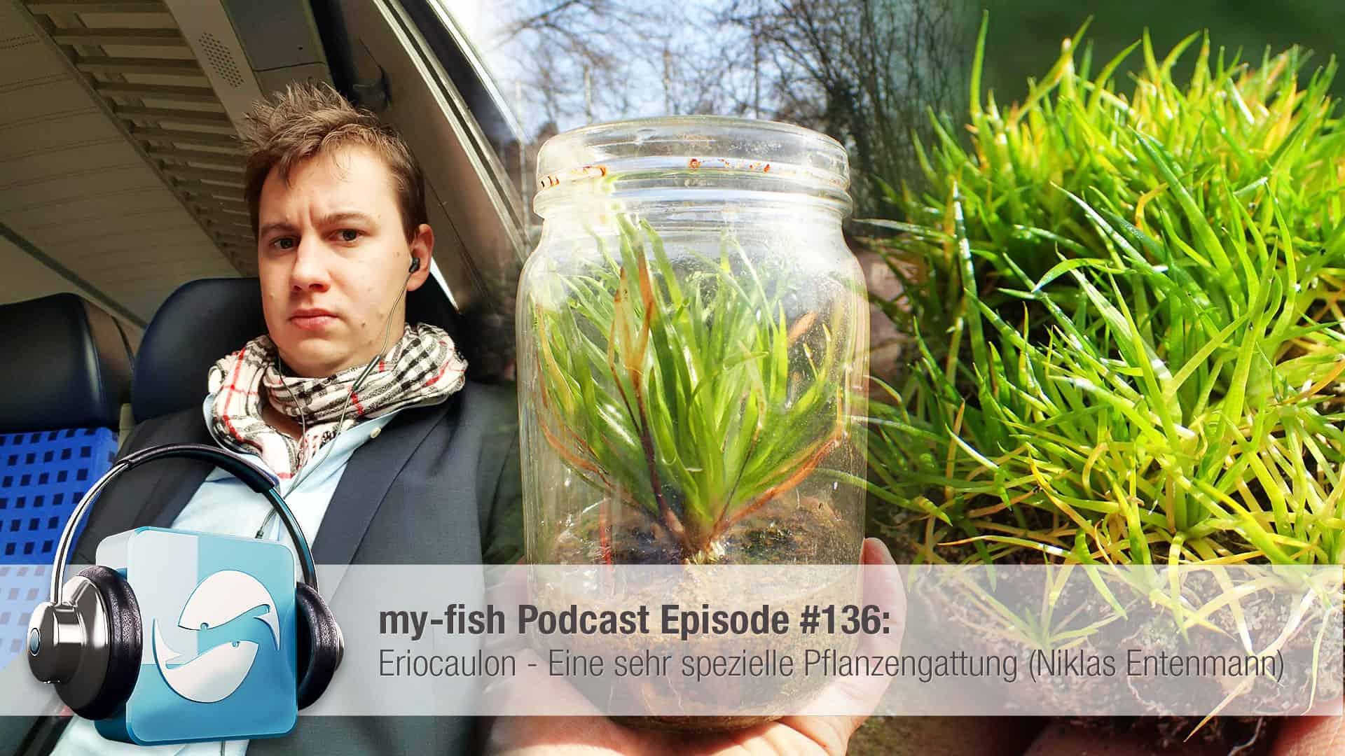 Podcast Episode #136: Eriocaulon - Eine sehr spezielle Pflanzengattung (Niklas Entenmann) 1