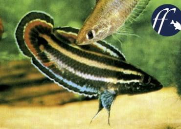 Franky Friday: Neuigkeiten bei den Prachtzwergguramis (Parosphromenus)