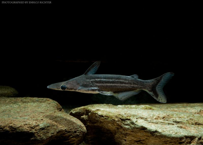 Ageneiosus lineatus 8-10cm WF Peru