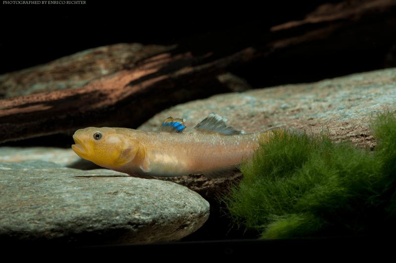 Chlamydogobius eremius 3-4cm