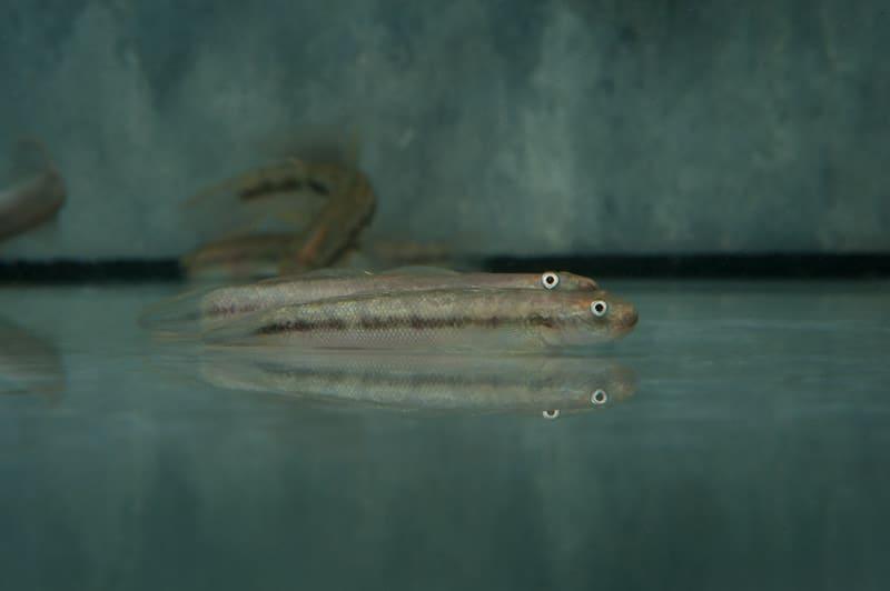 Sicyopterus macrostetholepis 5-6cm