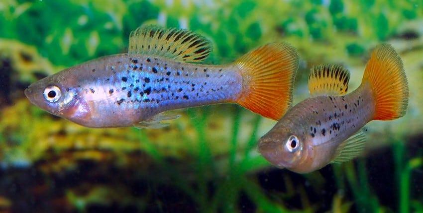 """Xiphophorus variatus """"La Laguna"""""""