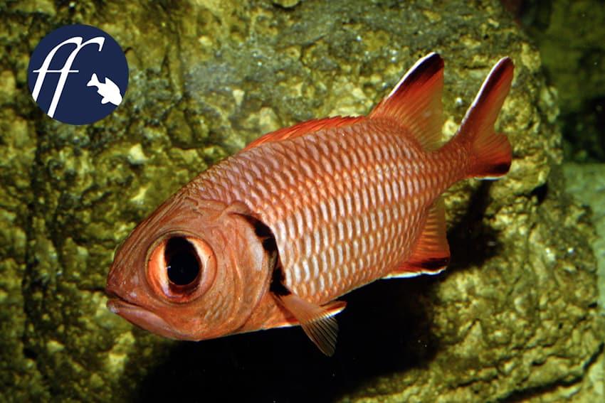 Franky Friday: Soldaten- und Husarenfische 1