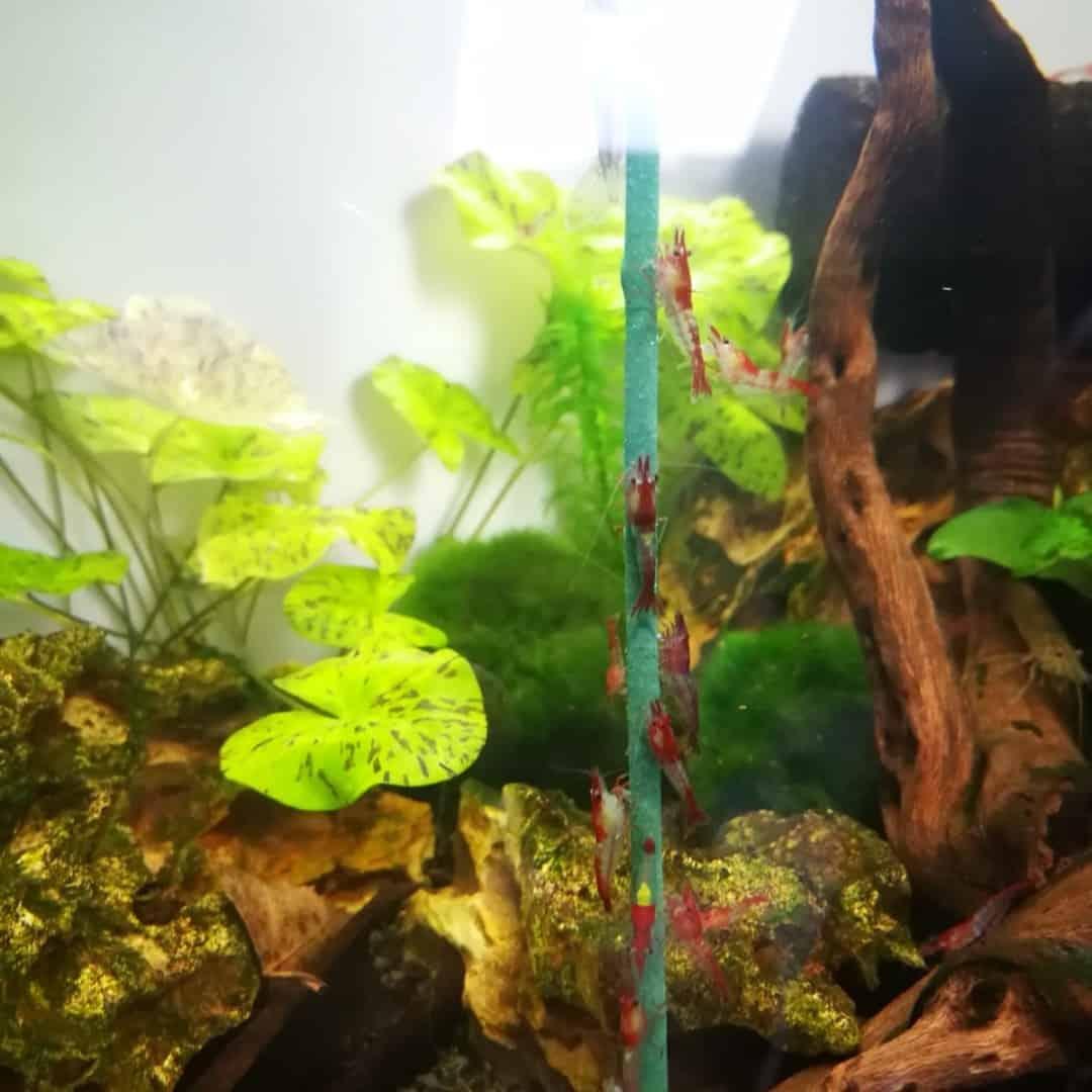 232: Gillians Unterwasserwelt und ihre bunten Garnelen (Gilian) 4