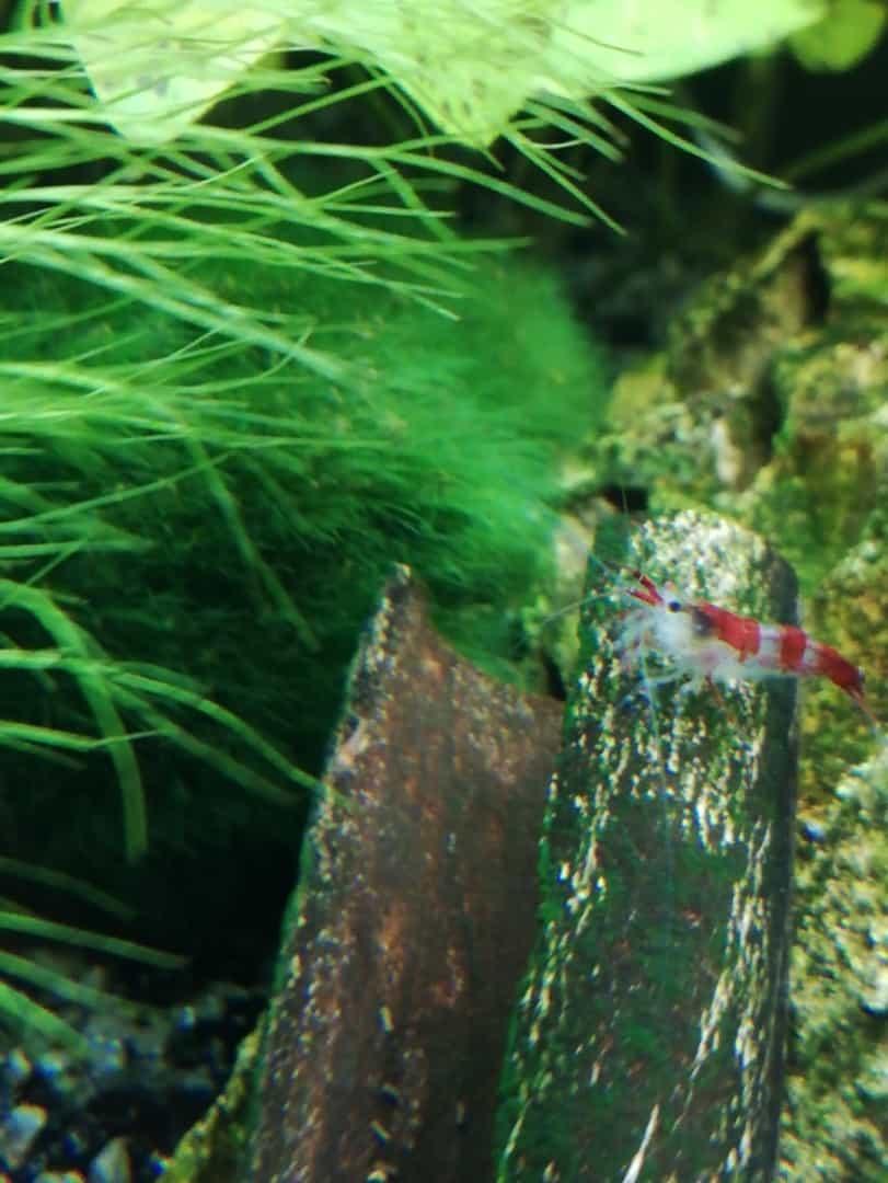 232: Gillians Unterwasserwelt und ihre bunten Garnelen (Gilian) 8