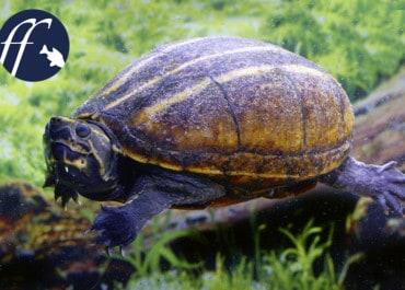 Franky Friday: Die ideale Zwergschildkröte – Kinosternon baurii
