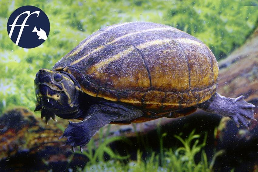 Franky Friday: Die ideale Zwergschildkröte – Kinosternon baurii 1