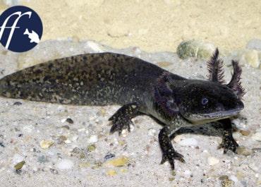 Franky Friday: Gibt es bald keine Axolotl mehr?