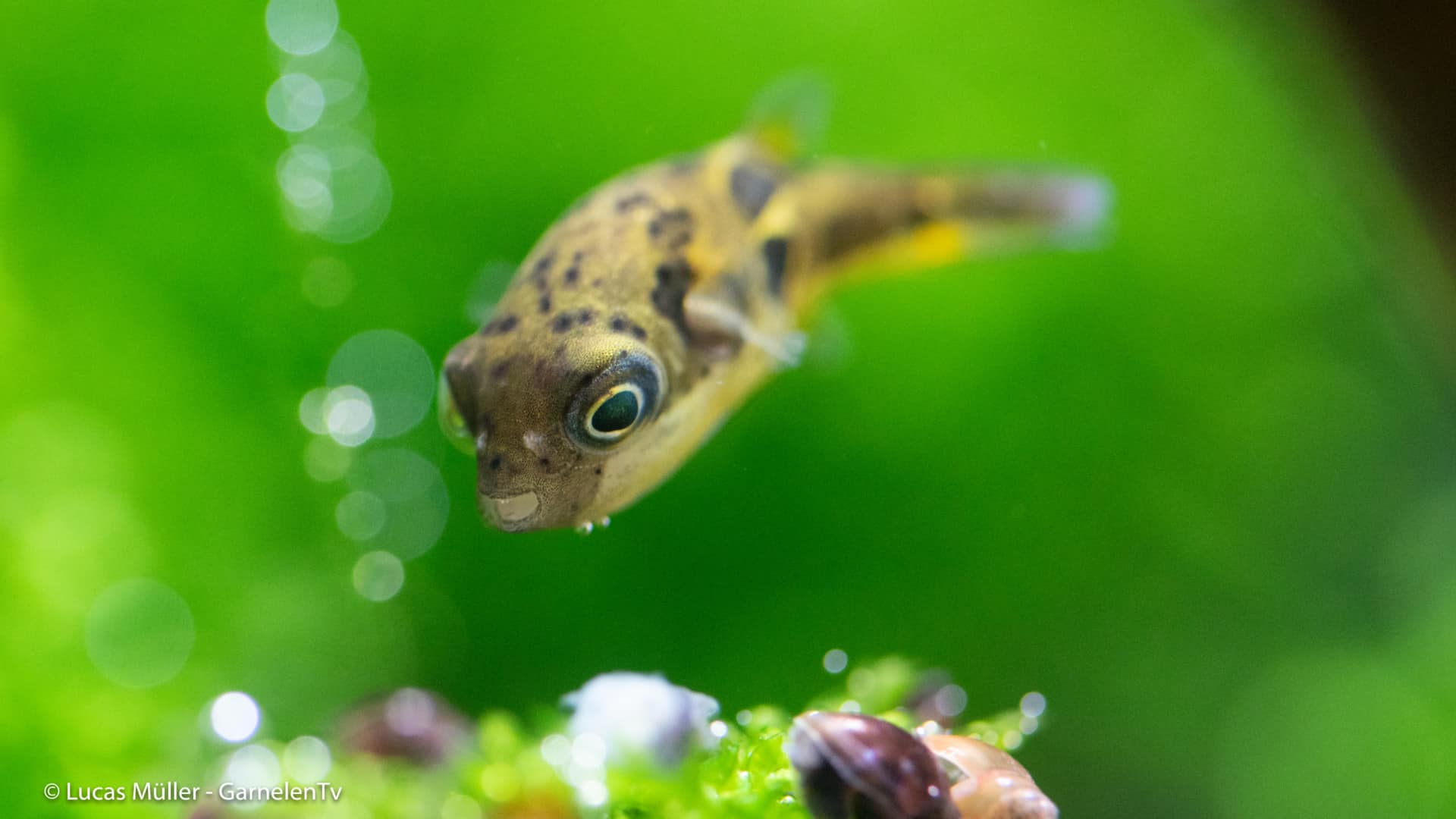 239: Der Erbsenkugelfisch – Alles über die Haltung und Pflege von Carinotetraodon travancoricus (Pascal Gräber) 4