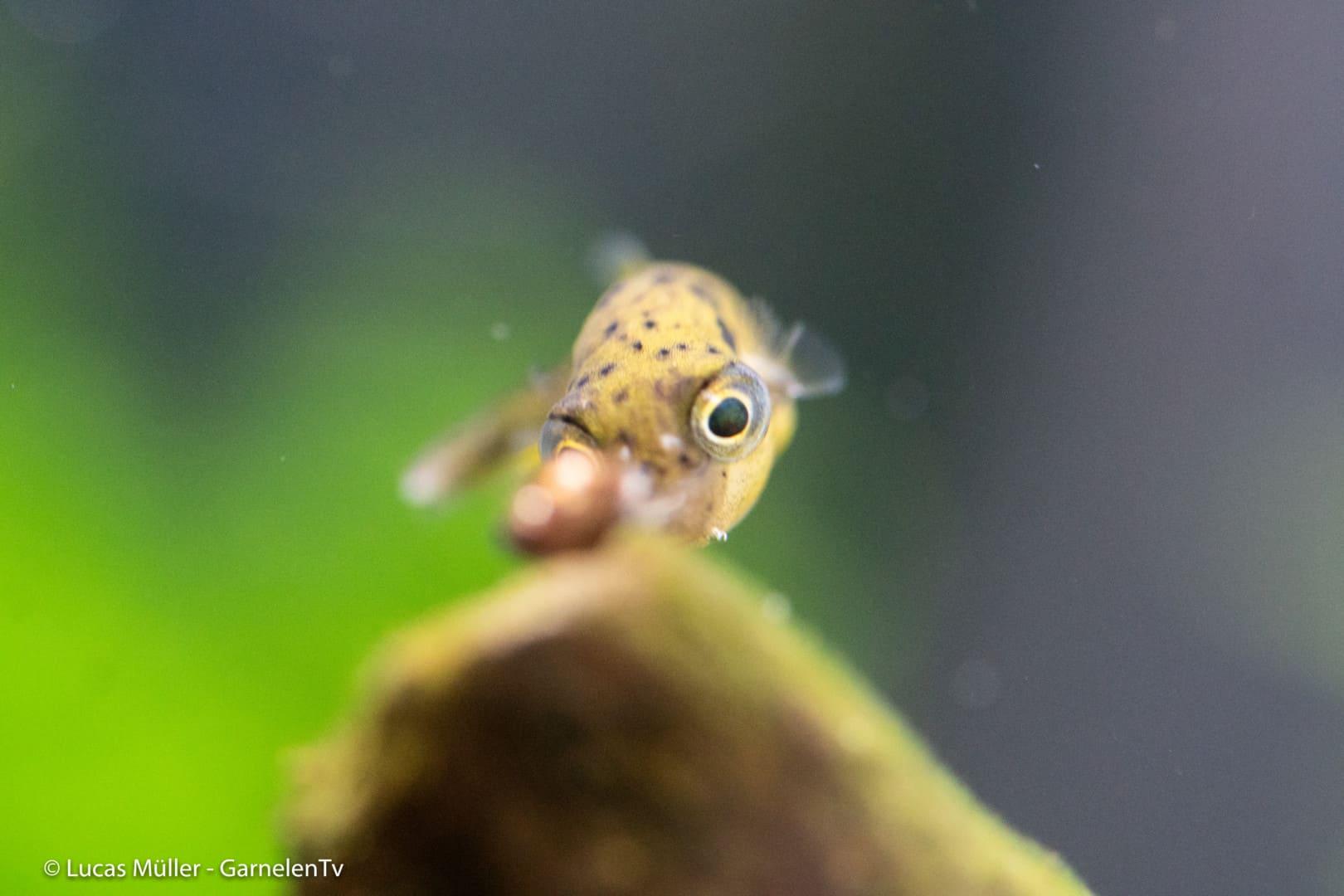 239: Der Erbsenkugelfisch – Alles über die Haltung und Pflege von Carinotetraodon travancoricus (Pascal Gräber) 5