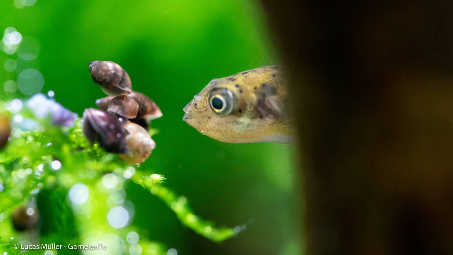 239: Der Erbsenkugelfisch – Alles über die Haltung und Pflege von Carinotetraodon travancoricus (Pascal Gräber) 6