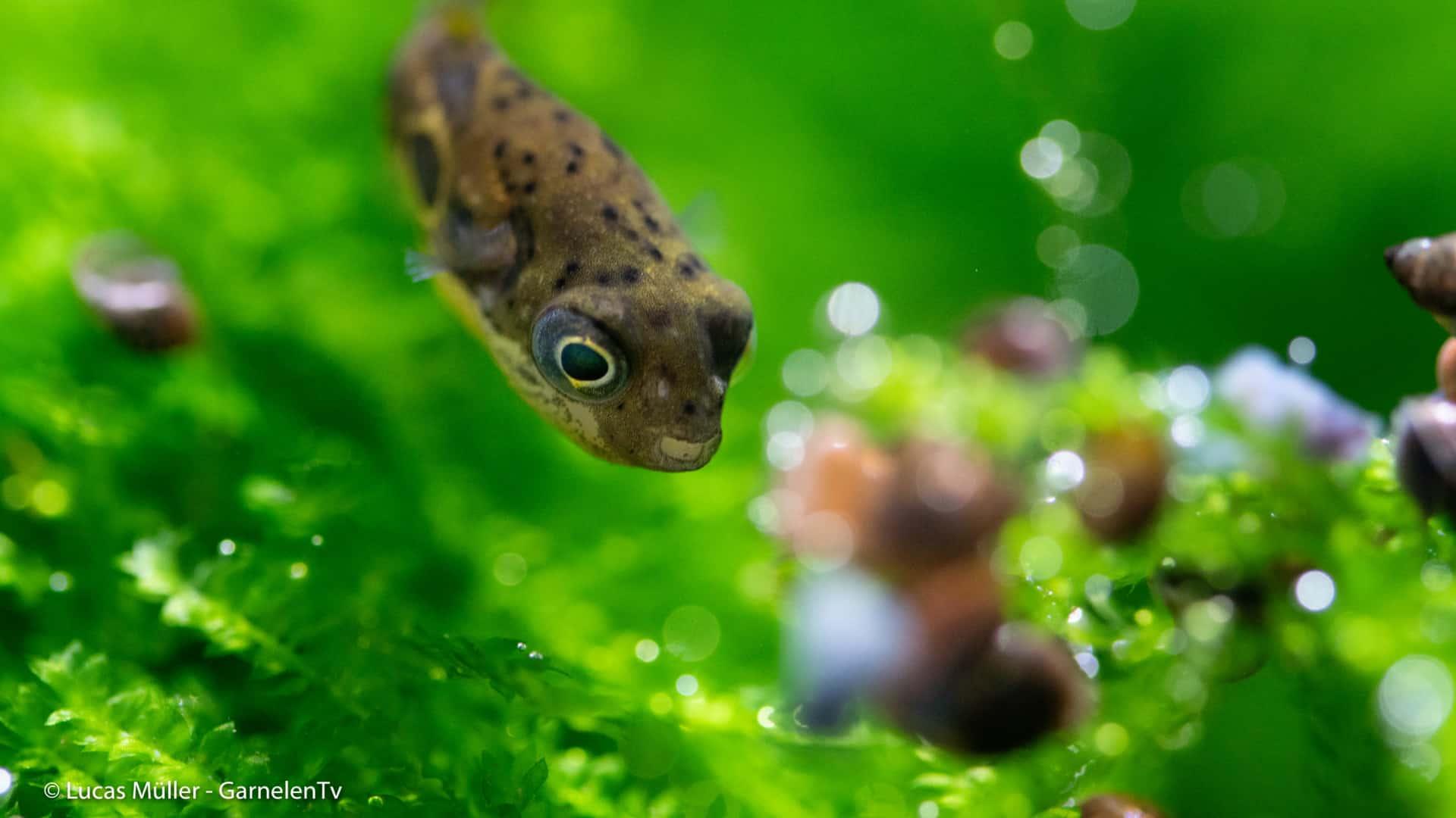 239: Der Erbsenkugelfisch – Alles über die Haltung und Pflege von Carinotetraodon travancoricus (Pascal Gräber) 10