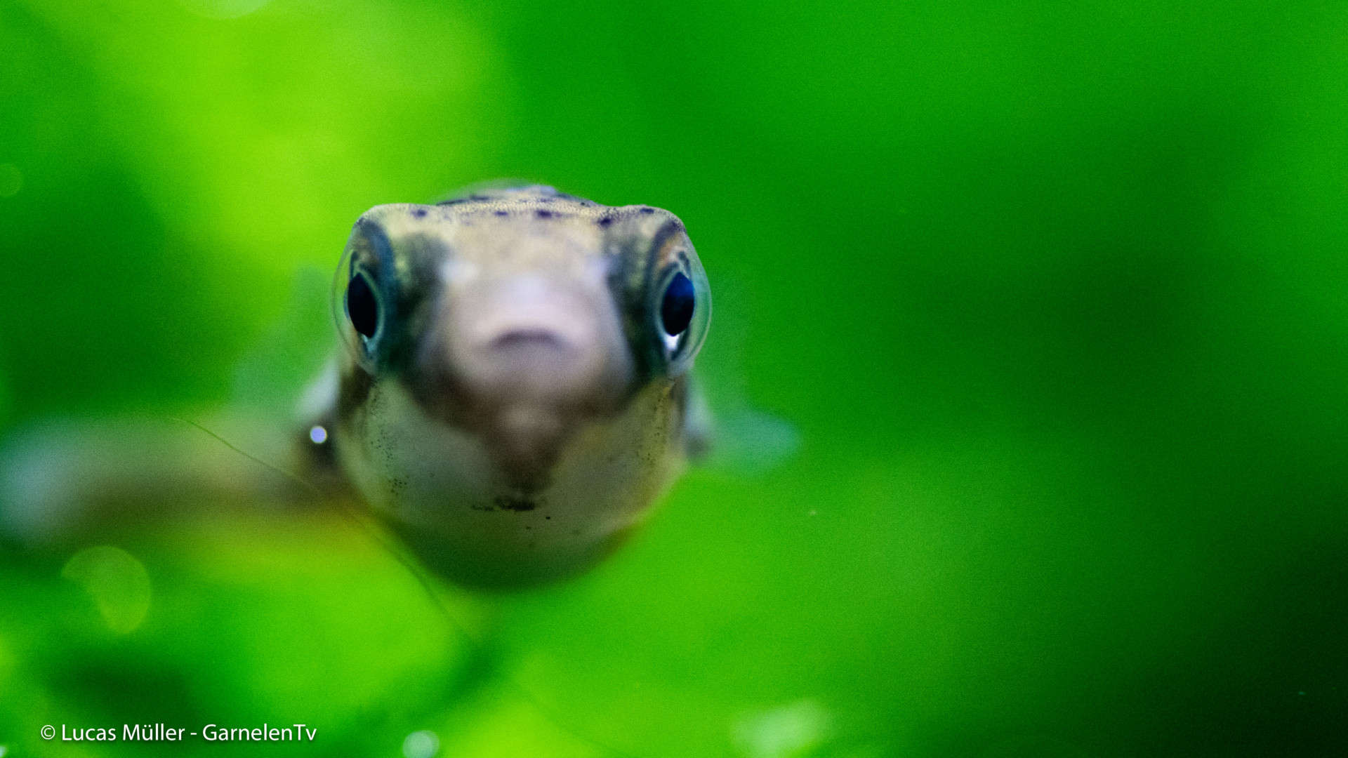 239: Der Erbsenkugelfisch – Alles über die Haltung und Pflege von Carinotetraodon travancoricus (Pascal Gräber) 13