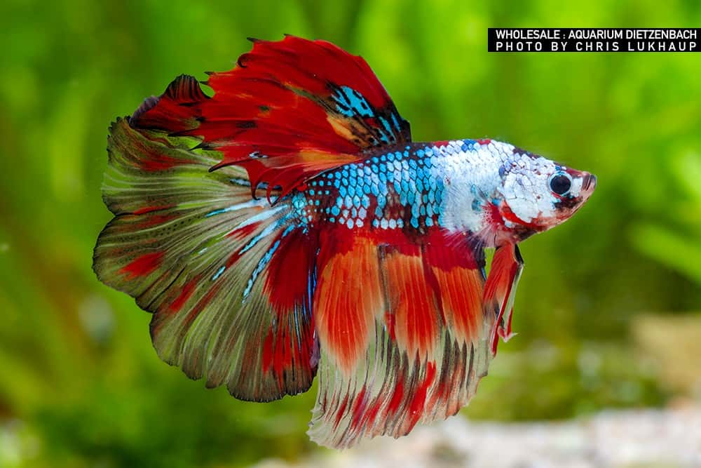 Betta splendens - Kampffisch