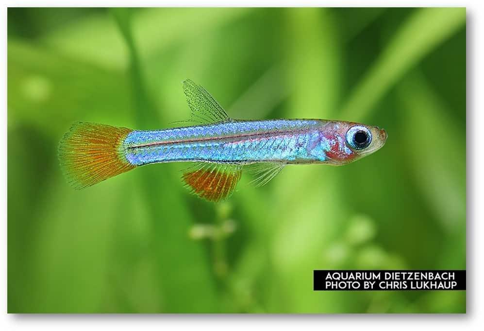 Poropanchax brichardi - Brichards Leuchtaugenfisch