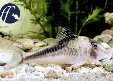 Franky Friday: Corydoras fowleri - Eine Gruppe Panzerwelse