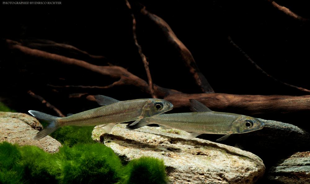 Argonectes longiceps WF Venezuela 8-10cm