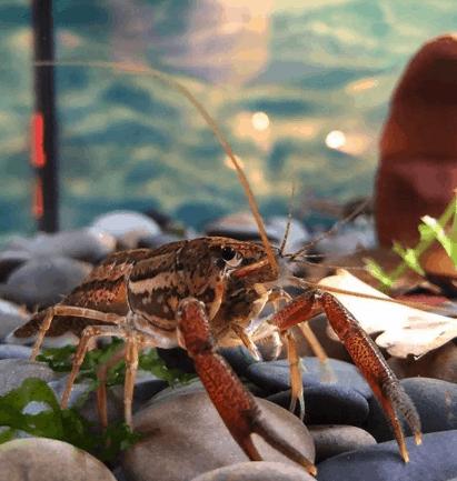 244: Flusskrebse im Aquarium - Procambarus erfolgreich pflegen und vermehren (Dennis Kraft) 2
