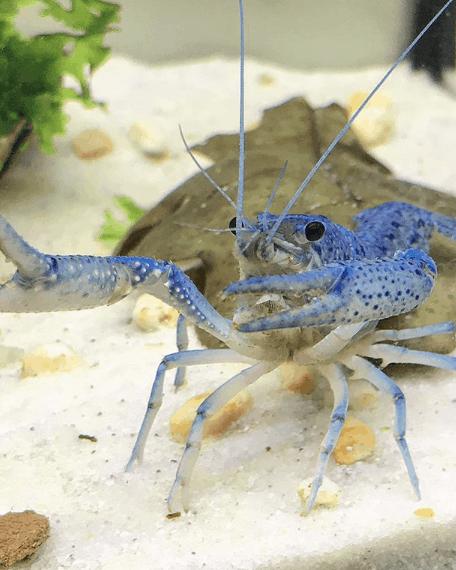 244: Flusskrebse im Aquarium - Procambarus erfolgreich pflegen und vermehren (Dennis Kraft) 11