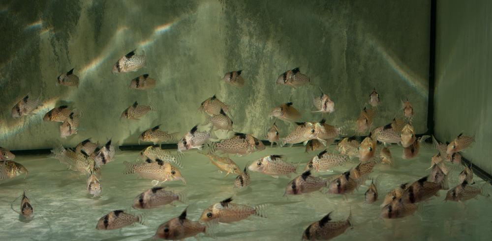 Corydoras ambiacus