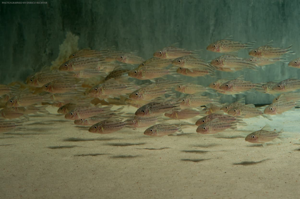 Corydoras robinae Flaggenschwanz Panzerwels