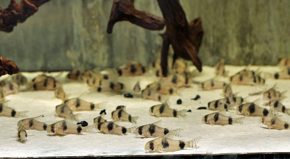 "Corydoras tukano ""WF Brasilien"" 3-4cm"