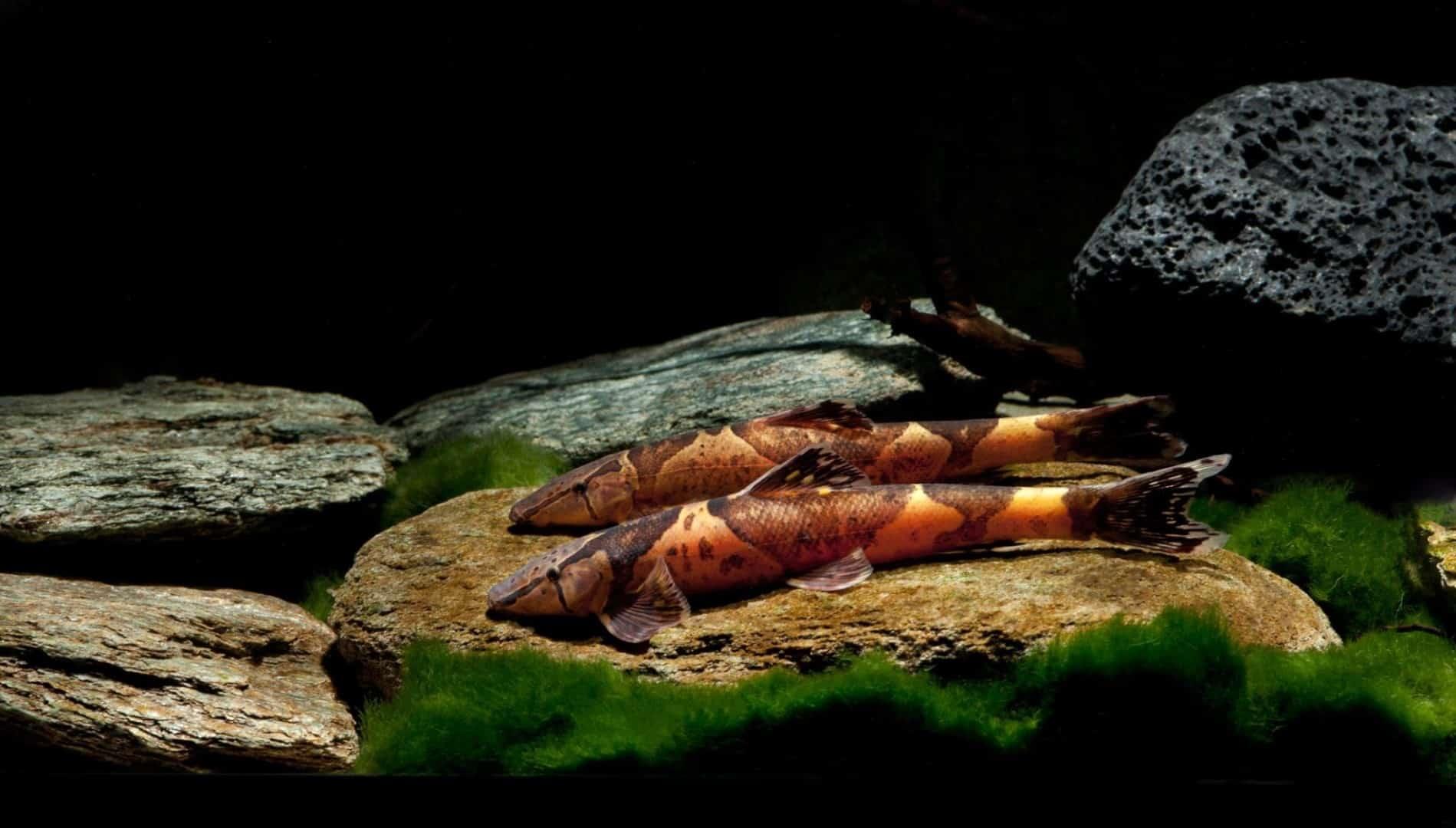 """Homaloptera orthogoniata """"Echt"""" 6-11cm"""