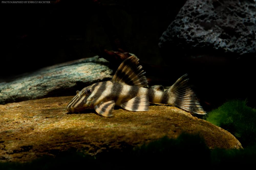 """LDA01 Panaquolus sp. """"WF-Brasilien"""" 5-6cm"""