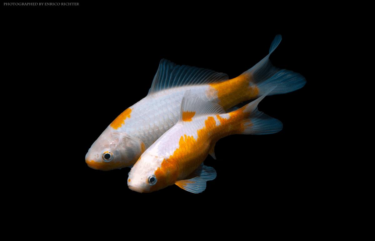 Seltene gelbe Sarasa Goldfische (Canarions)