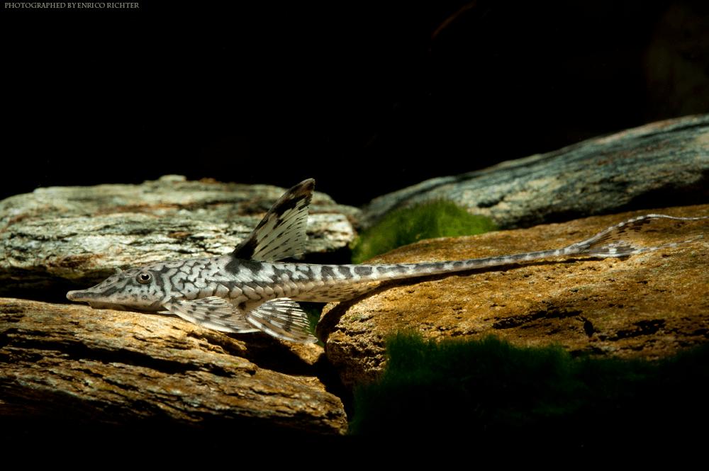 "Sturisomatichthys leightoni ""WF-Kolumbien"" 9-11cm"