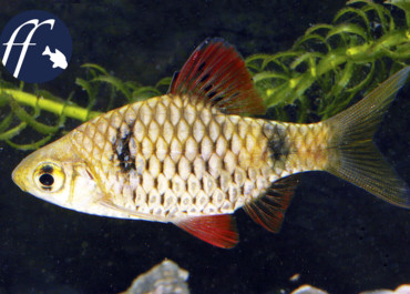 Franky Friday: Ceylonbarben - cumingii reval unser Name
