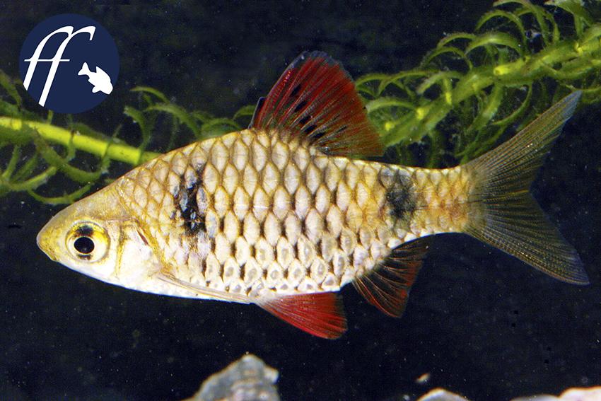 Franky Friday: Ceylonbarben - cumingii reval unser Name 1