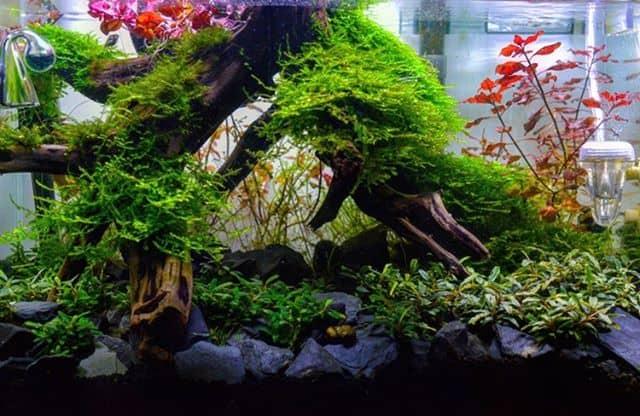 245: Aufsitzerpflanzen im Aquarium - Anubias, Bucephalandra, Farne & Co (Adrian Lichnowski) 3