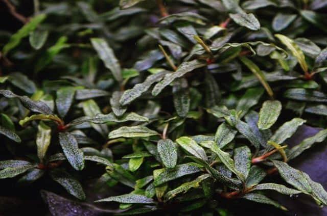 245: Aufsitzerpflanzen im Aquarium - Anubias, Bucephalandra, Farne & Co (Adrian Lichnowski) 5