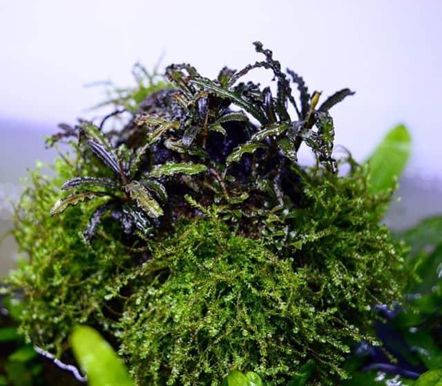 245: Aufsitzerpflanzen im Aquarium - Anubias, Bucephalandra, Farne & Co (Adrian Lichnowski) 2