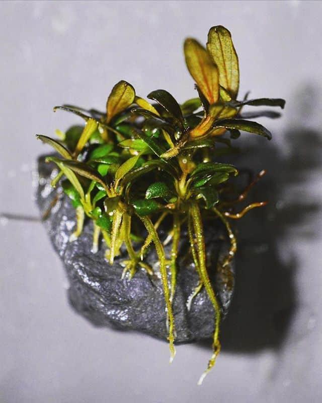 245: Aufsitzerpflanzen im Aquarium - Anubias, Bucephalandra, Farne & Co (Adrian Lichnowski) 4